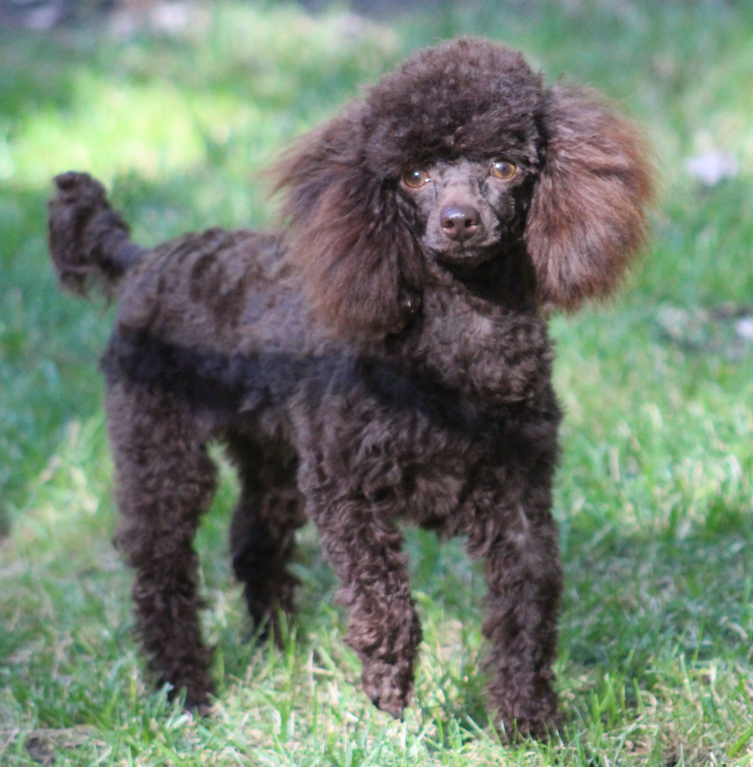 Poodle Puppies Toy Teacup Tiny Toy Poodles Ohio Breeder