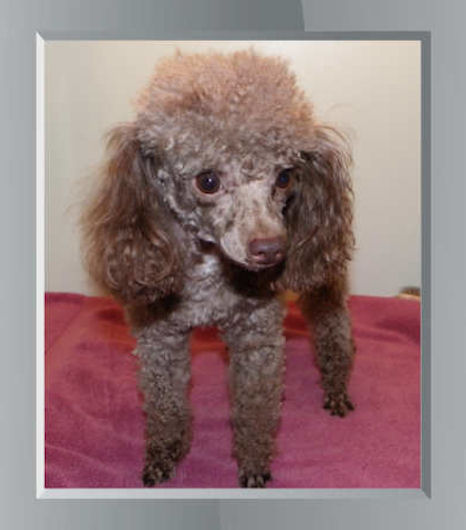 Female Poodle Puppies, Brown, Black, Red, Parti Poodles, Phantom